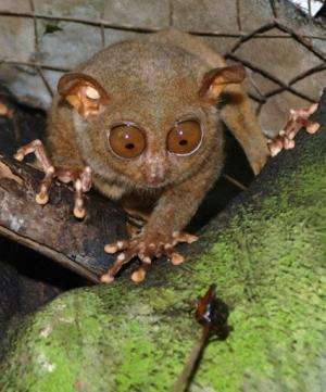 A tarsier eyes a cricket in a widlife sanctuary in the central Philippine island of Bohol in 2006