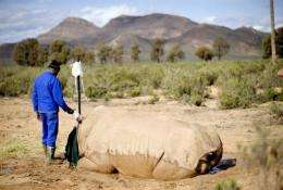 A veterinarian assistant holds a drip in place on a badly injured white rhino