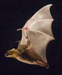 Bats save energy by drawing in wings on upstroke