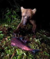 Bears, scavengers count on all-you-can-eat salmon buffet lasting for months