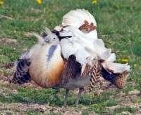 Bird poo study to help Great Bustards thrive