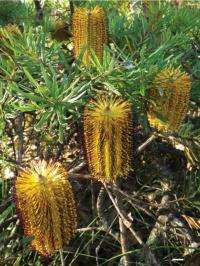 Botany student proves 'New England Banksia' a distinct species