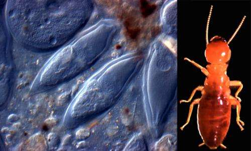 Caltech professor sees green energy in termite guts