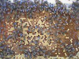 Can behavior be controlled by genes? The case of honeybee work assignments