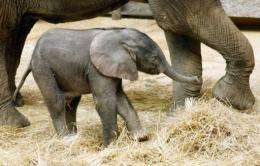 Captive elephants suffer from a narrowing gene pool