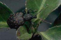 Catching vine weevils with odors