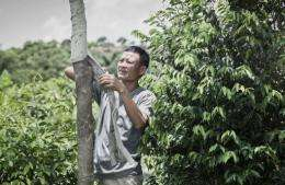 Chan Koon-wong is trying to revive his grandfather's incense tree plantation