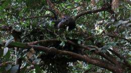 Chimpanzee ground nests offer new insight into our ancestors descent from the trees