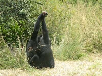 Chimpanzees create social traditions