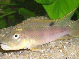 Cichlid fish: How does the swim bladder affect hearing?