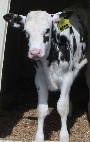 Colostrum health benefits for dairy calves not affected by cold storage, study finds