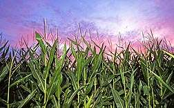 Corn gene helps fight Multiple Leaf Diseases