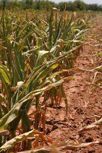 Corn, grain prices push to record highs