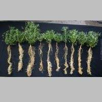 Crop root study to boost Australian grain production