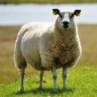 Diarrhoea in lamb flocks linked to dams