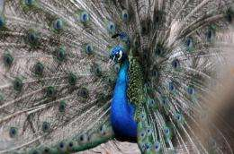 Dozens of wild peacocks have died suddenly in Pakistan, prompting experts to fear an outbreak of Newcastle disease