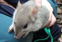 Eastern bettongs bounce back