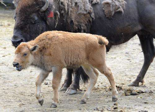 Embryo transfer results in healthy purebred Yellowstone bison calf