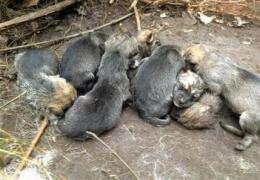 Endangered wolves at NY preserve produce 8 pups (AP)