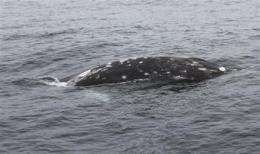 Entangled gray whale off Calif. freed after chase (AP)