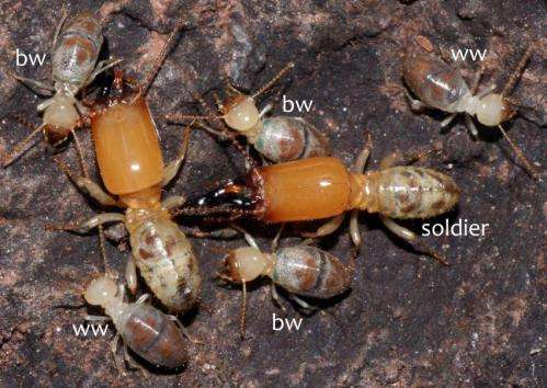 Aging worker termites explode themselves in suicide missions