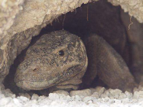 Extreme 'housework' cuts the life span of female Komodo Dragons