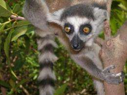 Factors behind past lemur species extinctions put surviving species in 'ecological retreat'
