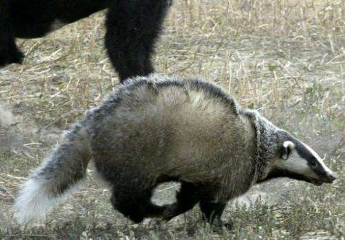 File picture of a badger being chased by a dog during training for a traditional hunt in Kyrgyzstan