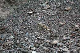 First snow leopards collared in Afghanistan