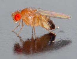 Fly genomes show natural selection and return to Africa