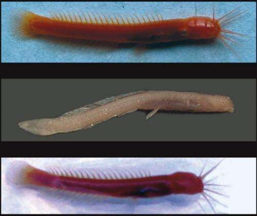 New blind catfish and eel found in India
