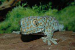 Scientists collaborate to gain understanding of self-cleaning gecko foot hair
