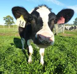 Genetically engineered cow yields hypoallergenic, high-protein milk