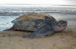 Movement patterns of endangered turtle vary from Pacific to Atlantic