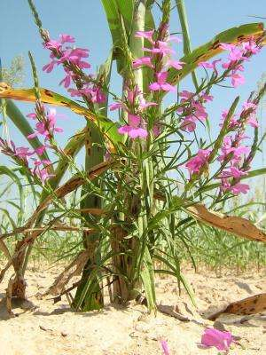 Grain crops with lower carotene levels are less affected by parasitic plants