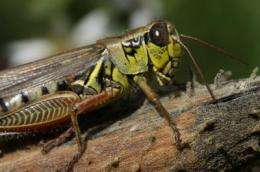 Grasshoppers 'stressed' by spiders affect the productivity of our soil