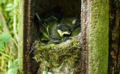 Great tits join forces to defend neighbours' nests