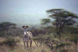 Habitat loss driven by human population growth, hunting and disease mean fewer than 2,500 Gervy's zebras remain