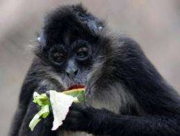 Habitats of spider monkeys are threatened because of strong demand for coffee and an increase in cocoa plantations