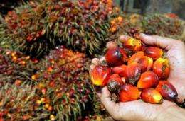 Harvested palm oil fruits