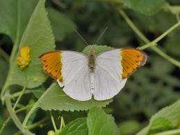 Hebomoia glaucippe