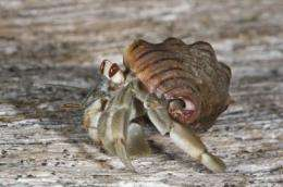 Hermit crabs socialize to evict their neighbors