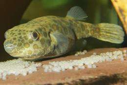 How the pufferfish got its beak