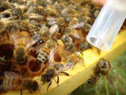 Increased honey bee diversity means fewer pathogens, more helpful bacteria