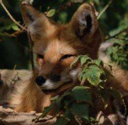 Increase in Lyme disease mirrors drop in red fox numbers: study