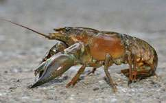 Invading crayfish success down to appetite and disease