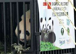 Kai Kai, one of two giant pandas on loan from China, looks out from his cage