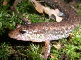 Study shows salamander survival rates depend on drought, climate change