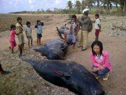 Locals have cut up several pilot whales that died in a mass stranding on the island of Savu