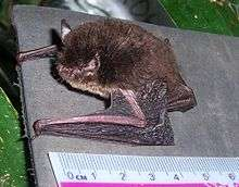 Malay Archipelago bat not one, but two species